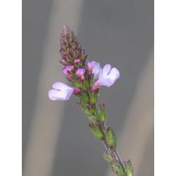 Sporýš lékařský (Verbena officinalis)
